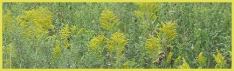 Yellow_field flowers_2012-09-03