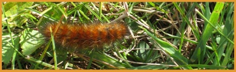 Brown caterpillar_2013-02-06