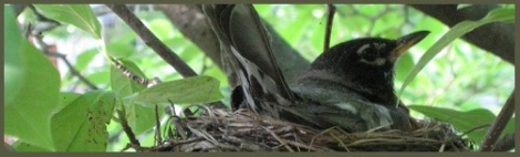 Gray_robins nest_2013-04-28