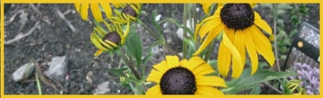 Yellow_Blackeyed Susan_2012-07-30