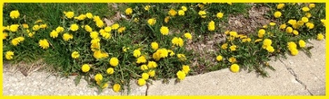 Yellow_dandelions_2013-05-06