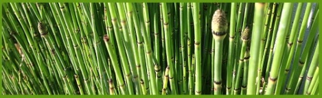 Green_bamboo_2013-08-15