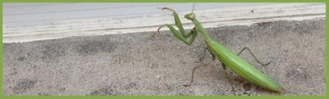 Green_Praying Mantis
