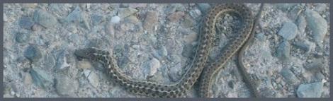 Gray_Montana snake_2010-09-13