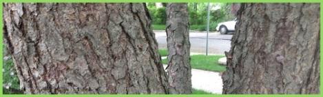 green_bark