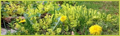 Yellow-green_dandelions