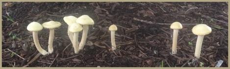 gray_mushrooms