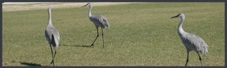 gray_3-walking-birds_2012-09-26