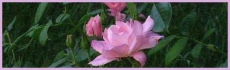 Violet_roses_2012-08-01