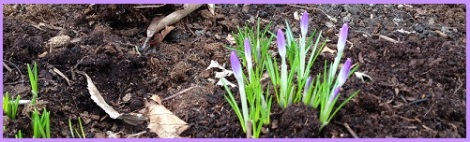 purple_crocuses