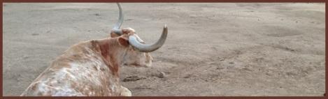 brown_bull