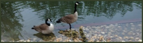 green-geese