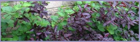 purple_plants