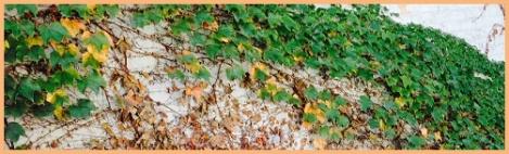 yellow-ivy