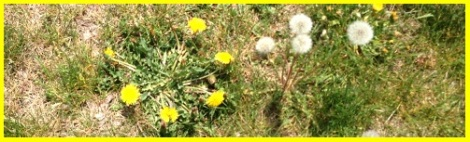 Yellow_Dandelions_2013-06-15