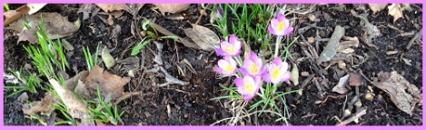 purple_crocuses 2