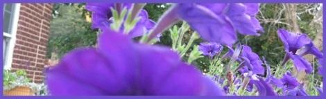 Violet_petunias_2012-07-31