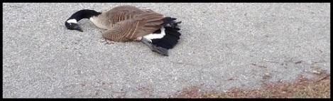 black_dead goose