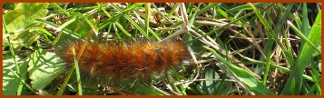 brown-caterpillar