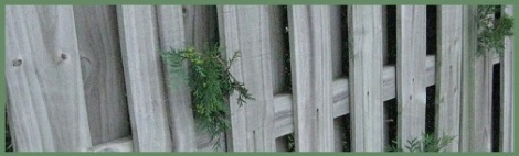 green_fenced-evergreens_2012-07-30